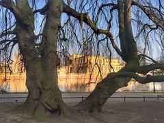 Hängebuche Schlossinsel Schwerin vor Museum