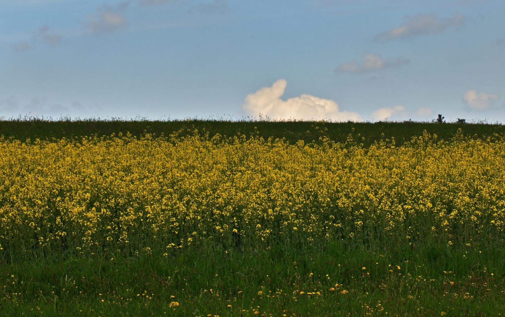 Häschen-Wolke über dem Rapsfeld