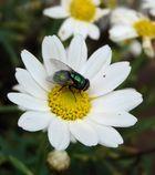 'häßliche' kleine fliege auf hübscher kleiner blume