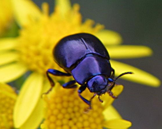 Häßlicher Käfer?
