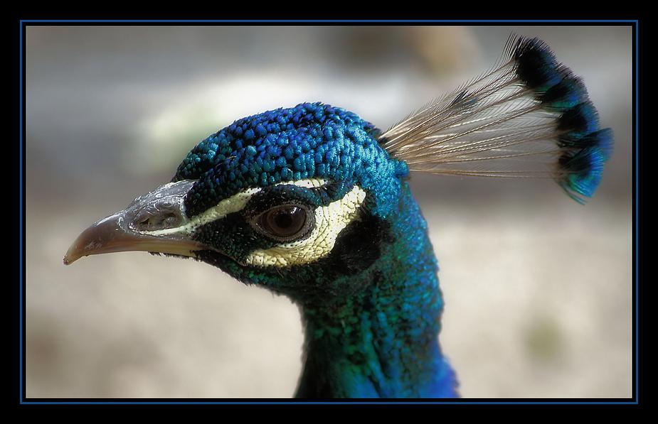 Häuptling Blaue Feder