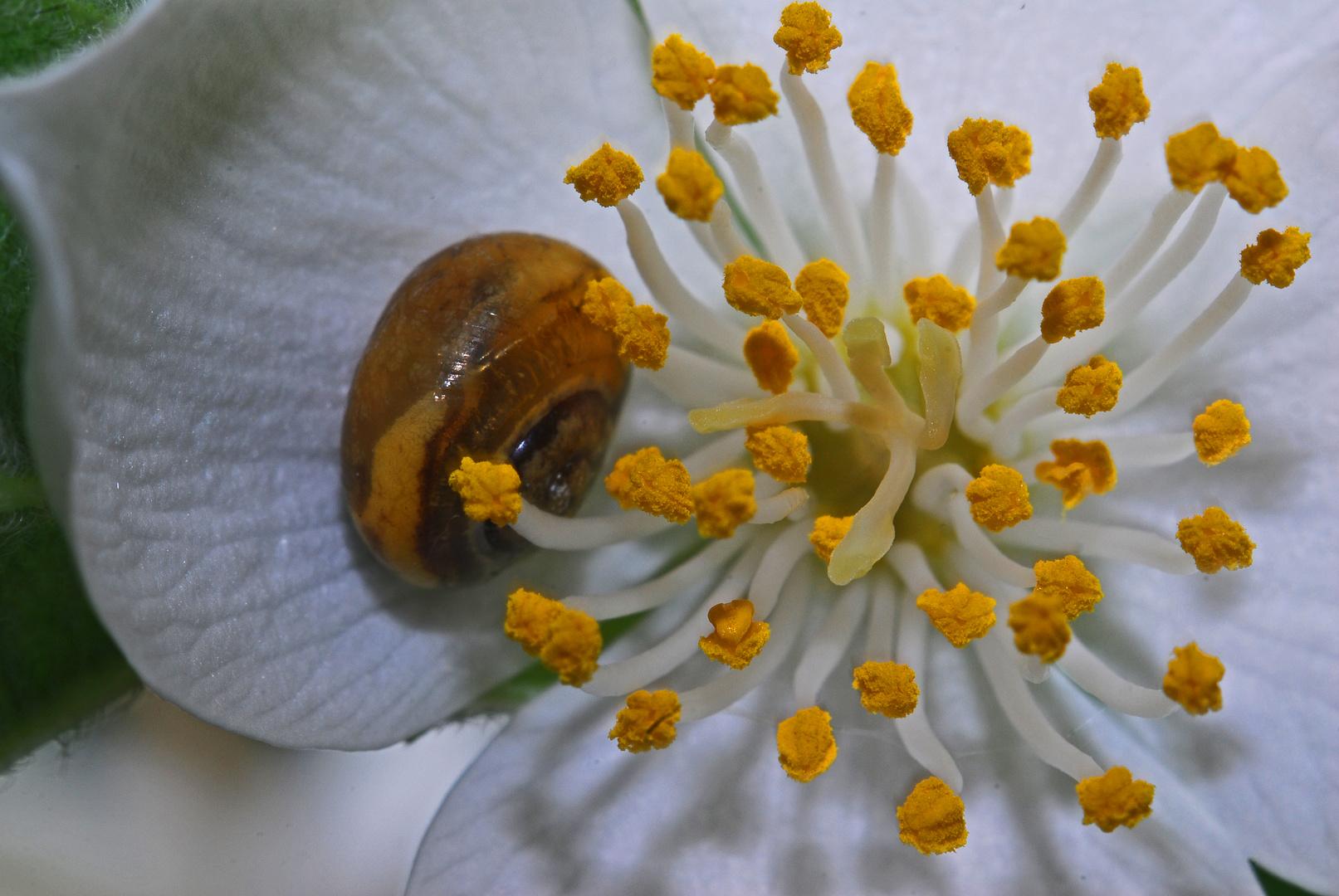 Häuschenschneckchen in Jasminblüte - unglaublich robust & mutig
