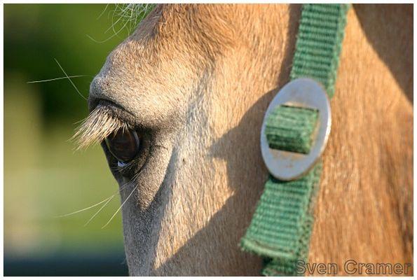 Haflinger-Auge