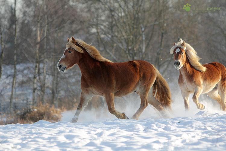 haflinger im schnee foto bild tiere haustiere pferde. Black Bedroom Furniture Sets. Home Design Ideas