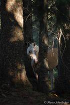 Haflinger im Wald