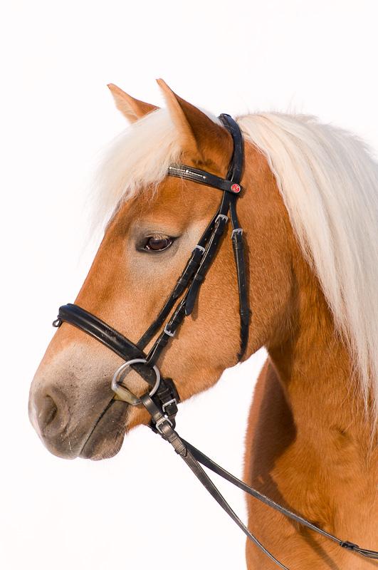haflinger klassisch vor wei em hintergrund foto bild tiere haustiere pferde esel. Black Bedroom Furniture Sets. Home Design Ideas