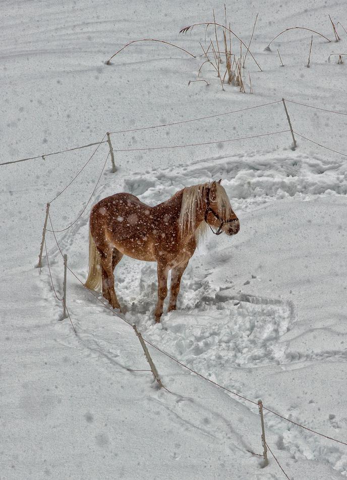 Haflingerhengst auf der Winterkoppel!