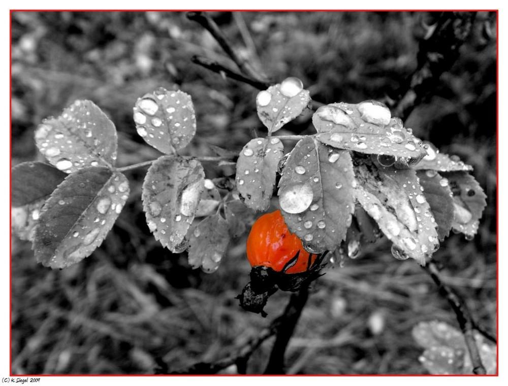 Hagebutte im Regen ...