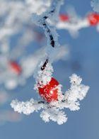 Hagebutte im Winter