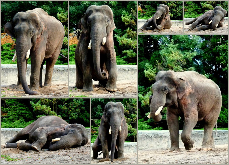 Hagenbecks Elefanten - Der Chef bei der Morgengymnastik