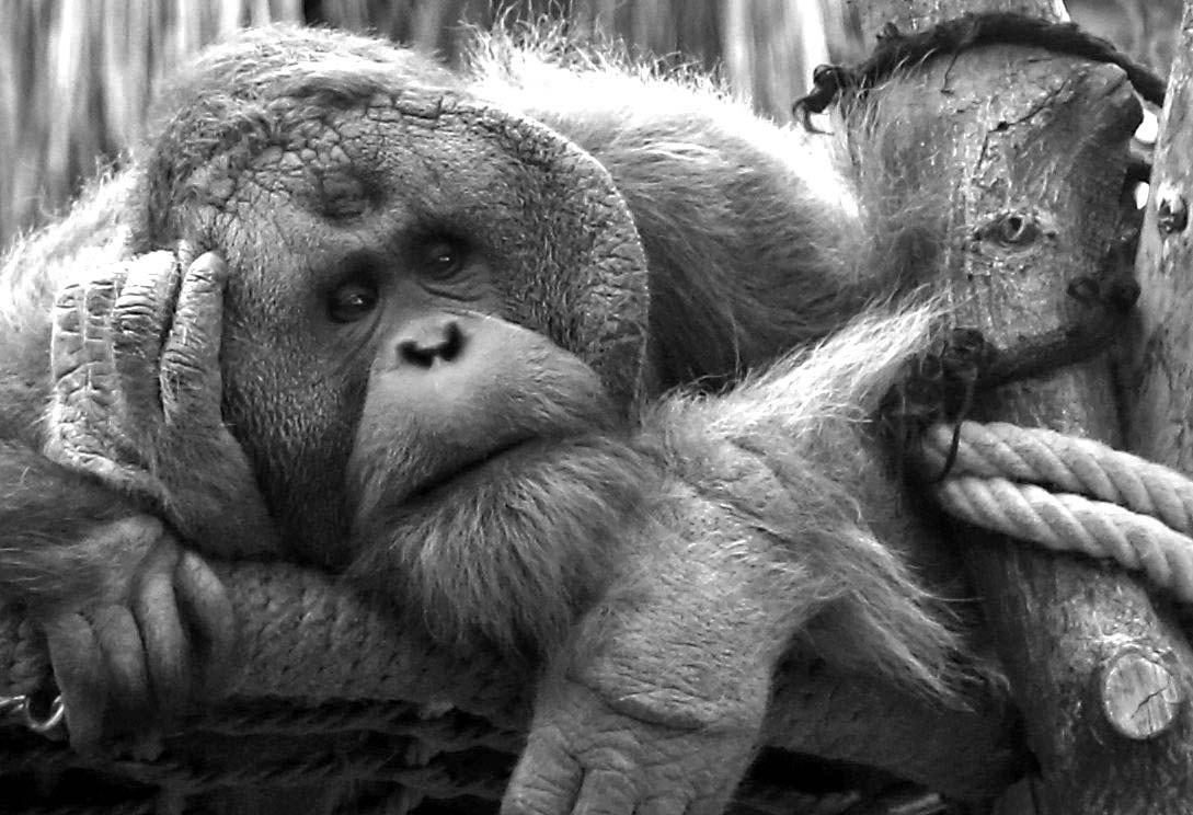 Hagenbecks Tierpark in Hamburg - Chef der Urang Utans