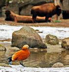 Hagenbecks Tierpark in Hamburg - kleiner Freund vor Büffeln