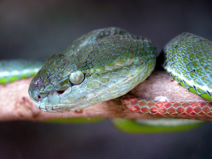 Hageni Pit Viper Trimeresurus hageni