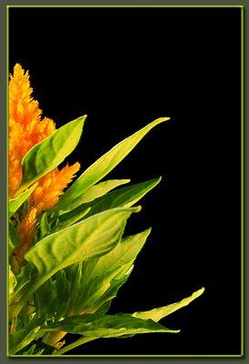 Hahnenkamm, orange