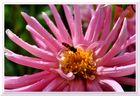 Hainschwebefliege (Episyrphus balteatus)
