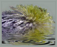 Halbimwasserpflanze