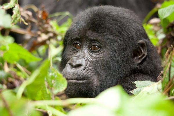Halbwüchsiger der Mishaya Group - Bwindi Impenetrable Forest/ Uganda