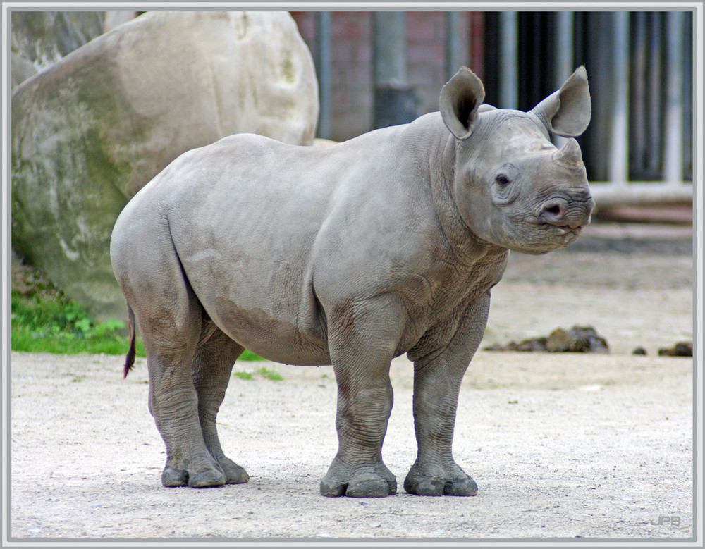 Halbwüchsiges Nashorn