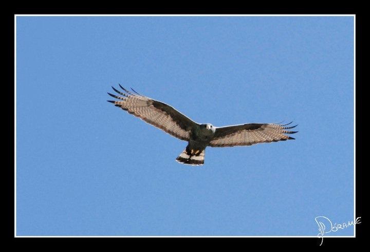 Halcon hawk