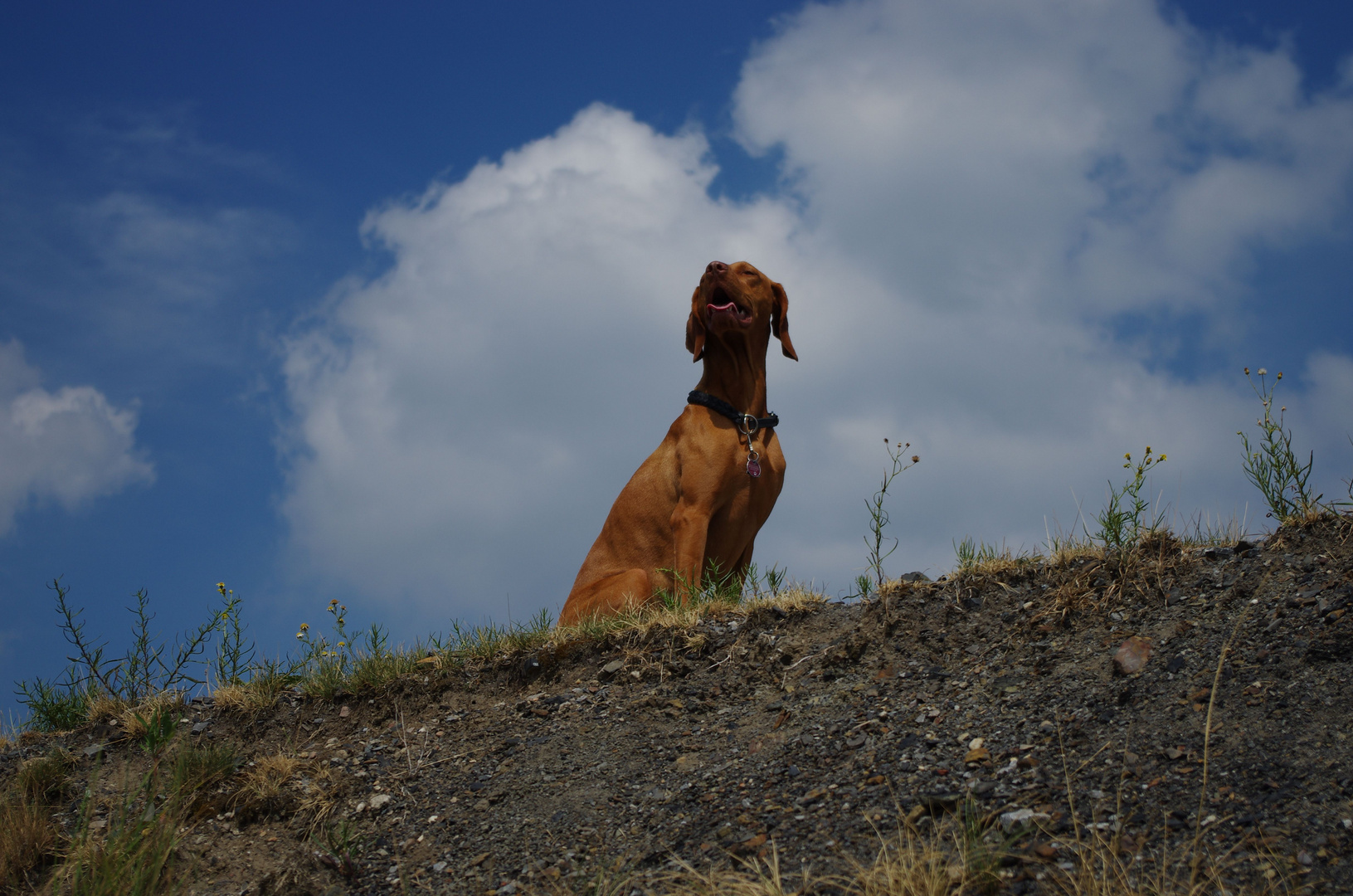 Haldenhund