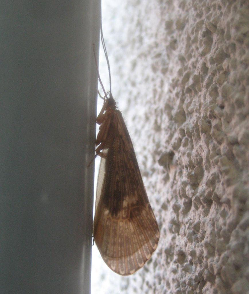 Halesus cf. radiatus .noch eine Köcherfliege