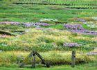 Hallig-Vegetation