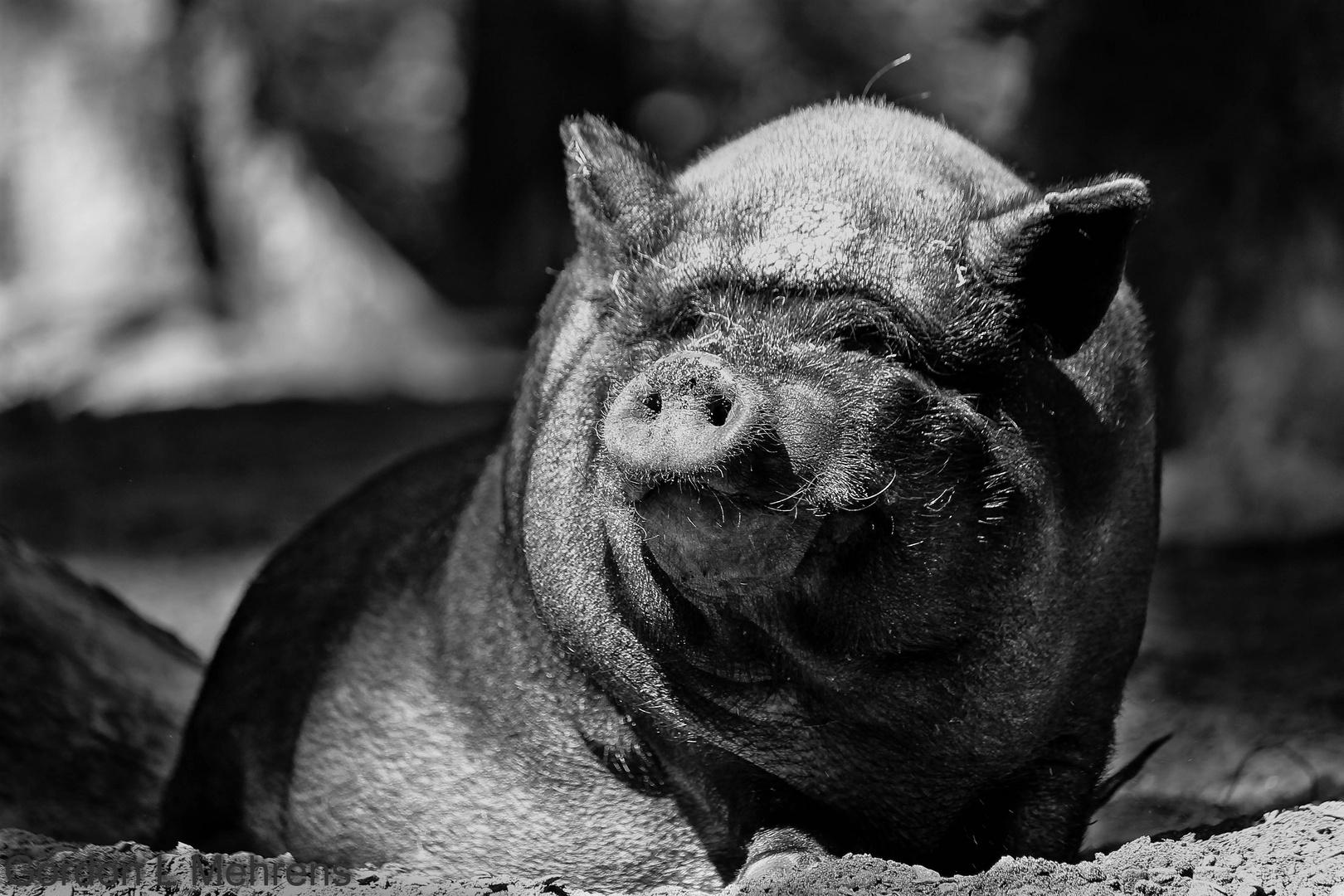 Hallo, ein Schwein