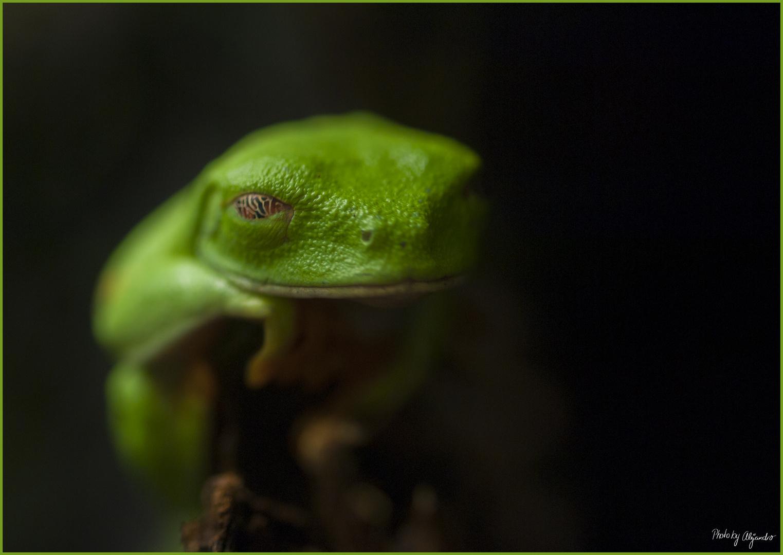 Hallo, Grüner Frosch