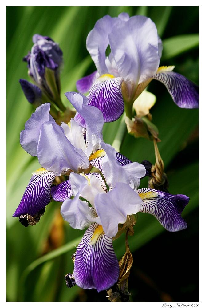 Hallo Iris