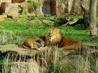 Hallo, kleiner Löwe