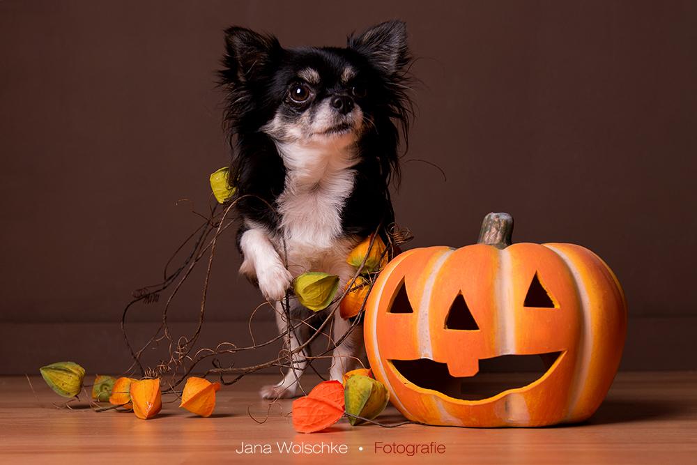 Halloween Chihuahua ;)
