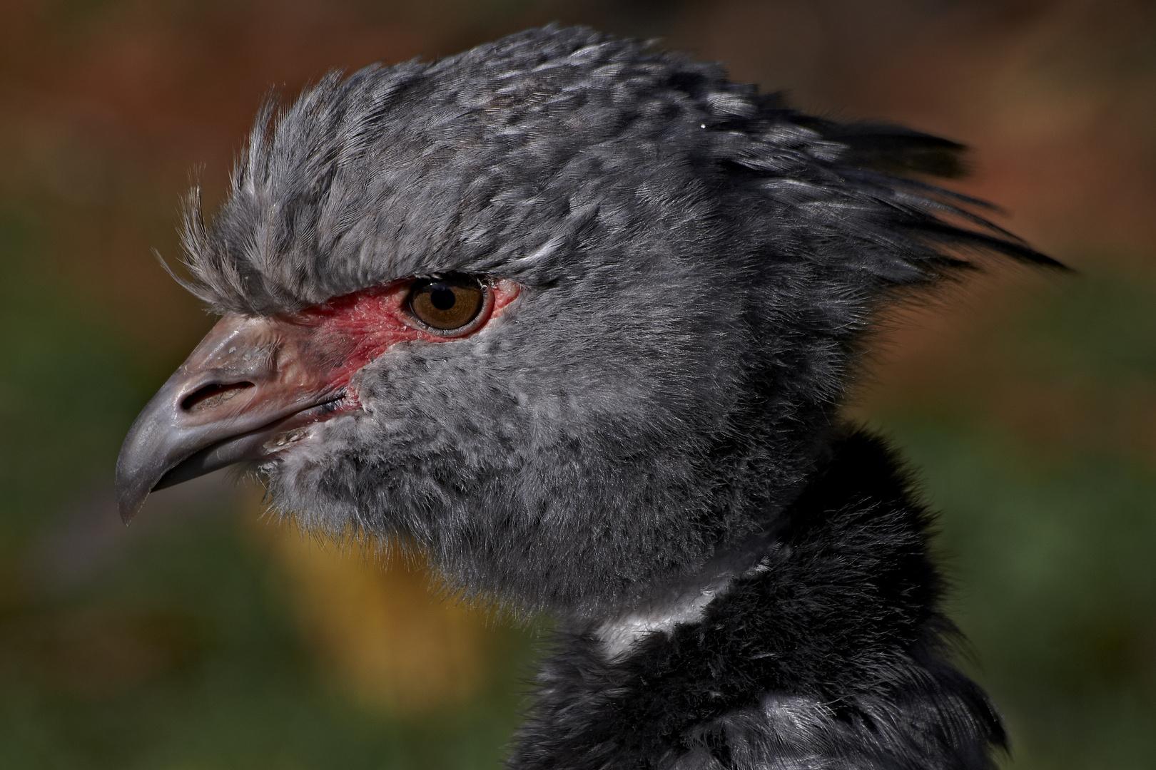Halsband Wehrvogel