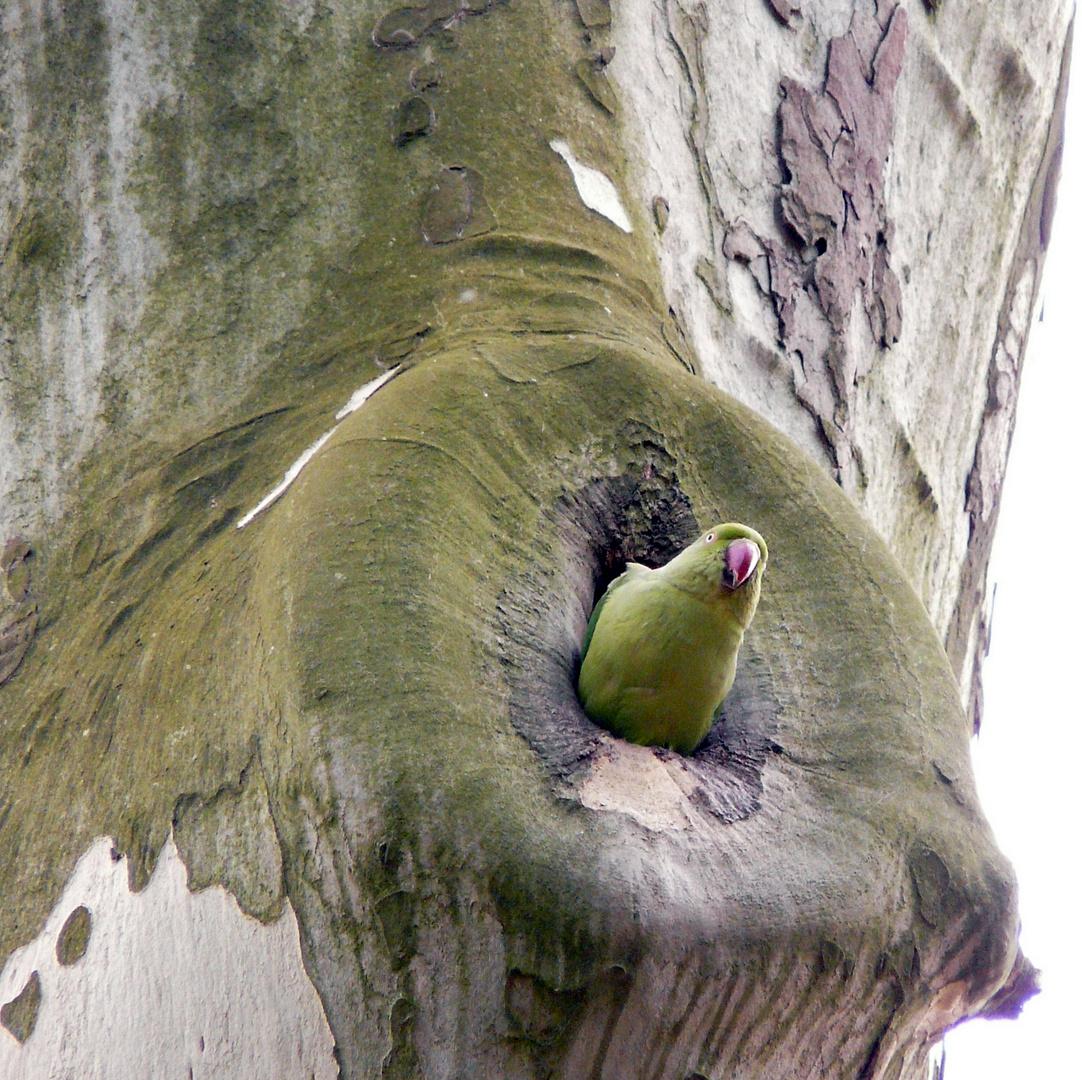 Halsbandsittich - ein vorsichtiger Blick aus dem Nest