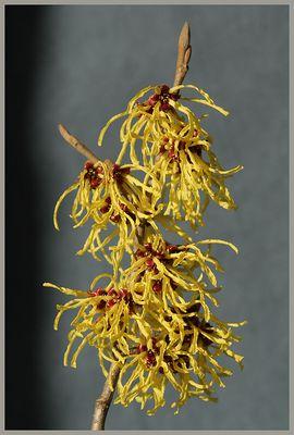 Hamamelis japonica (1)