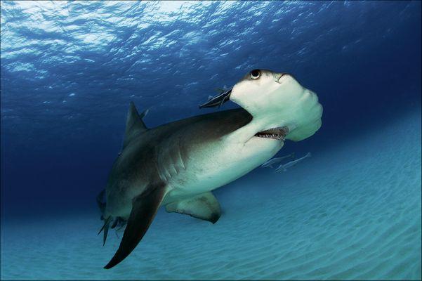 Hammerhai in der Drehung