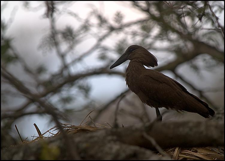 Hammerkopf auf seinem Nest