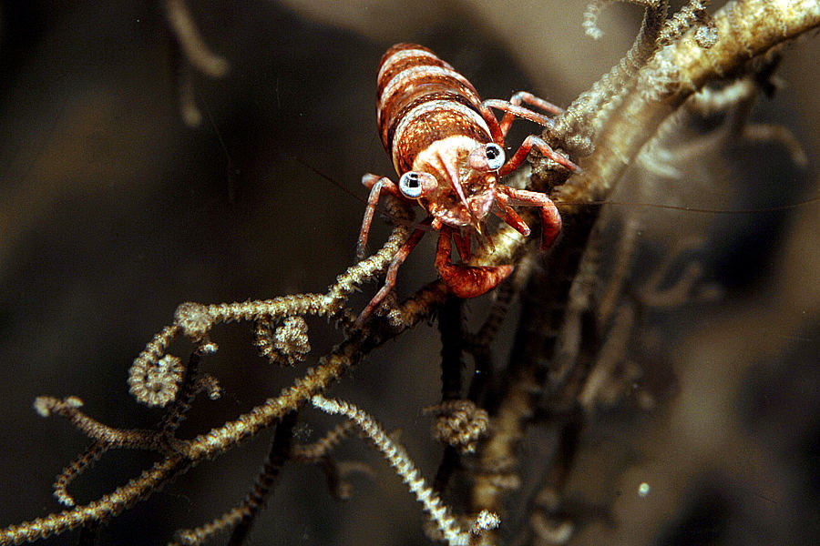 Hamodactylus sp.