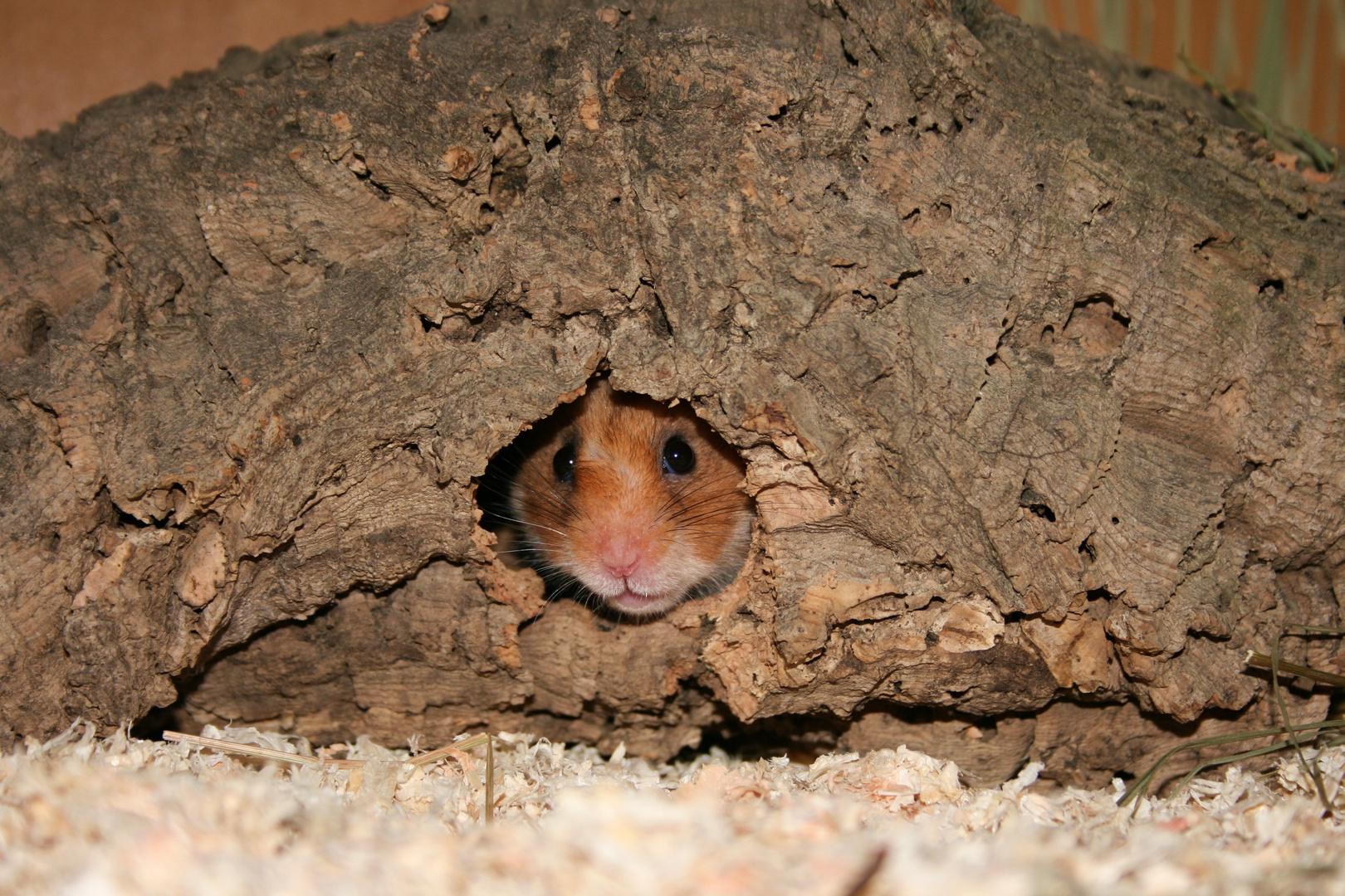 Hamster....