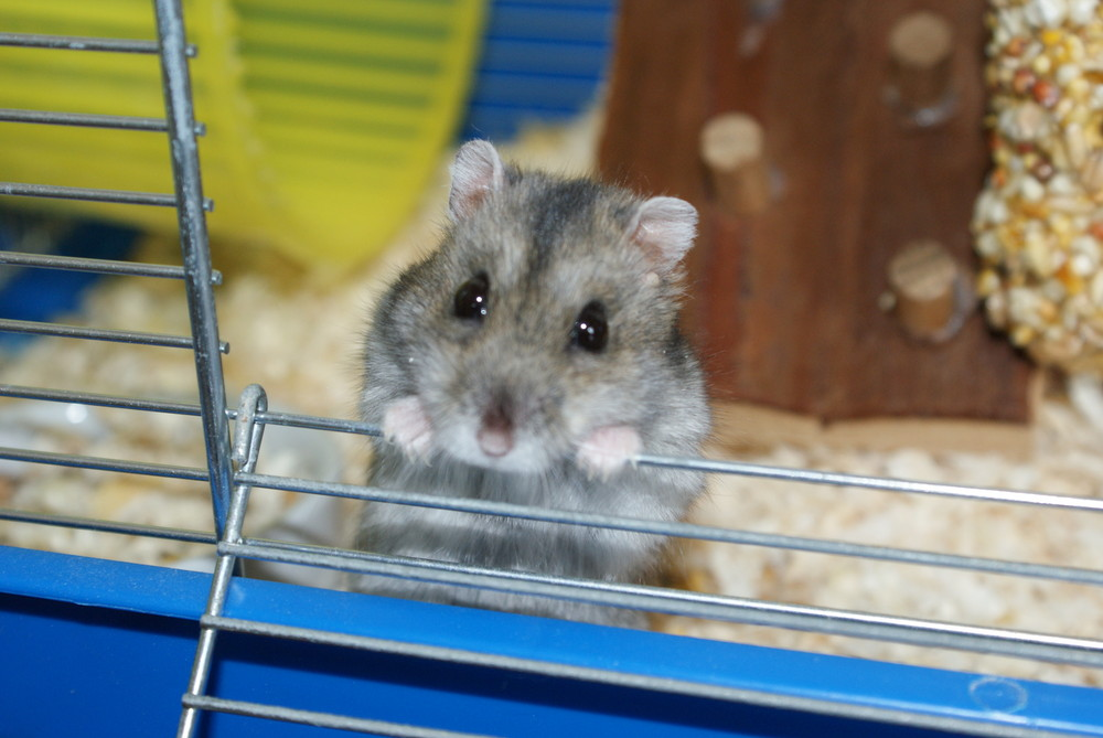 Hamster Jimi Hendrix 2