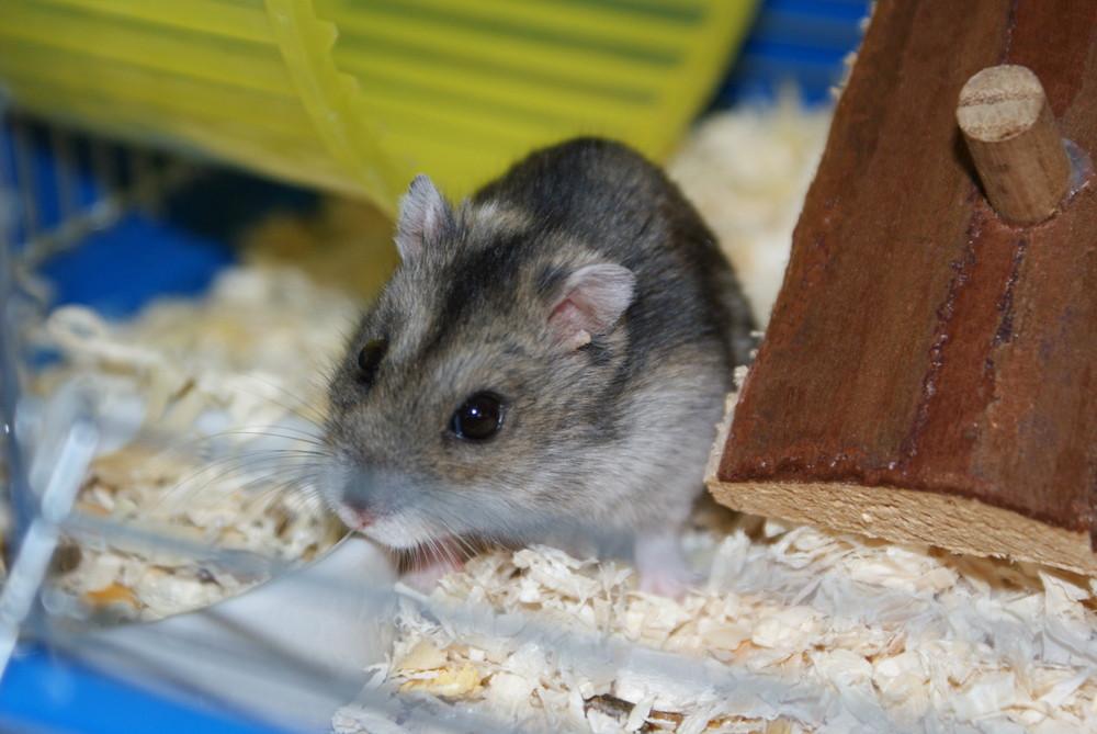 Hamster Jimi Hendrix