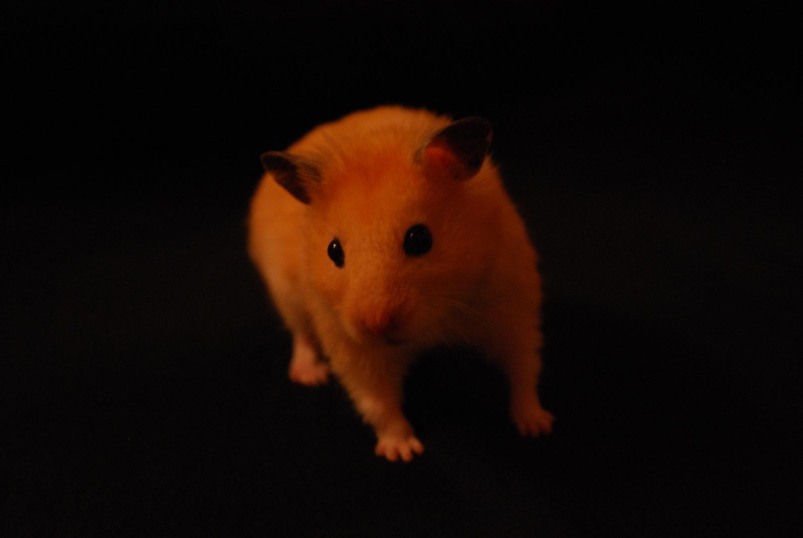 Hamster Louis sehr fotogen