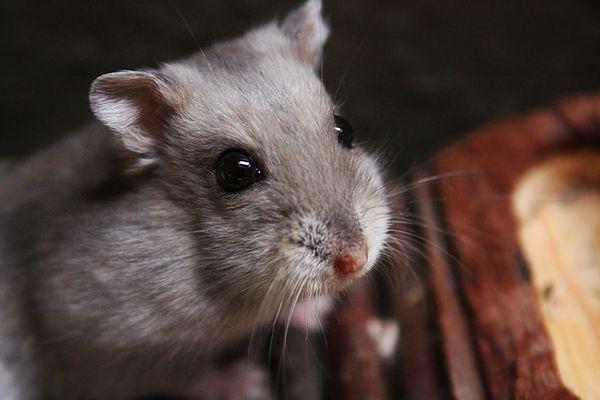 Hamster mal ganz nah....