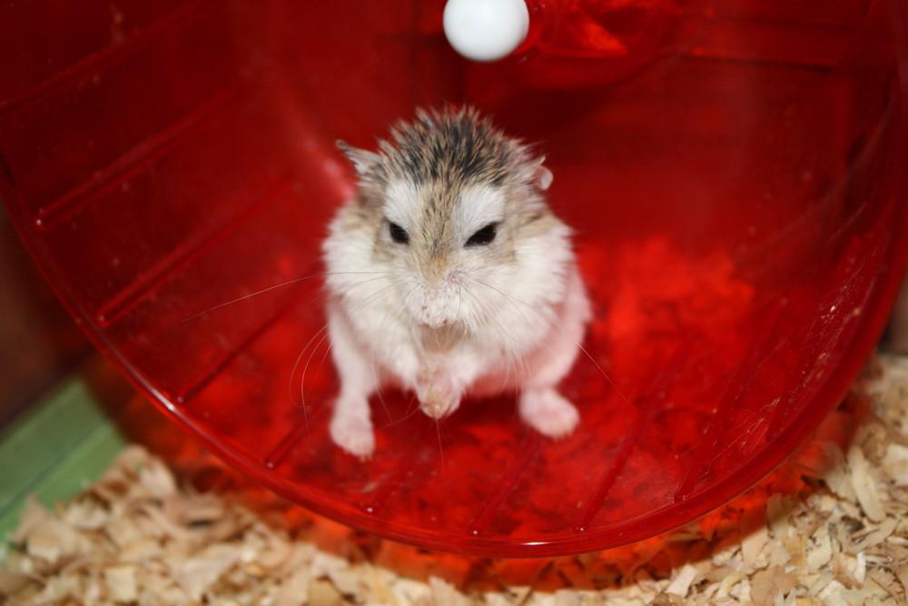 Hamster nain de Roborovski !!!