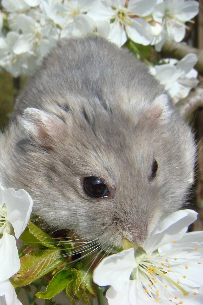 Hamster zur Kirschbluete
