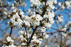 Hanami - Kirschblüte