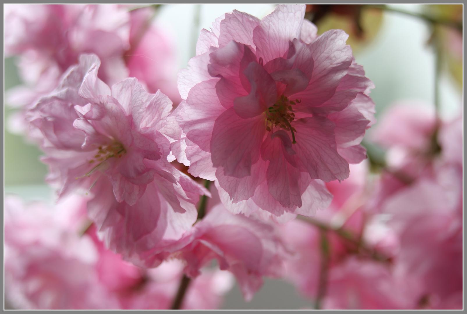Hanami- Symphonie in rosa