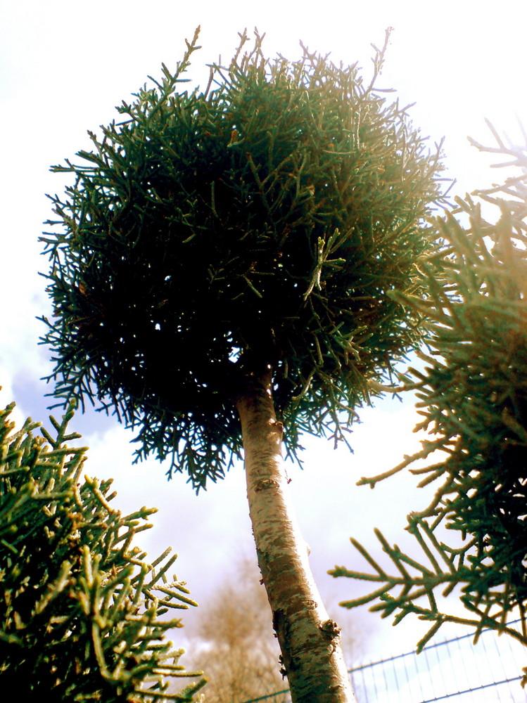 Handy Baum