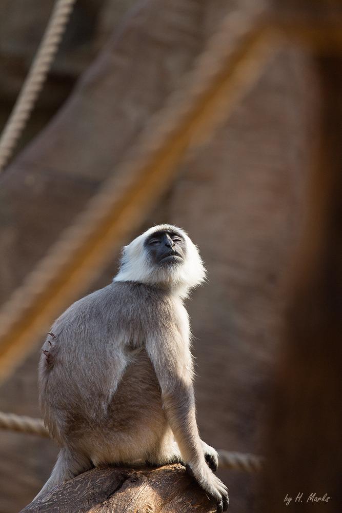 Hanuman-Langure