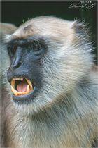 Hanuman-Languren
