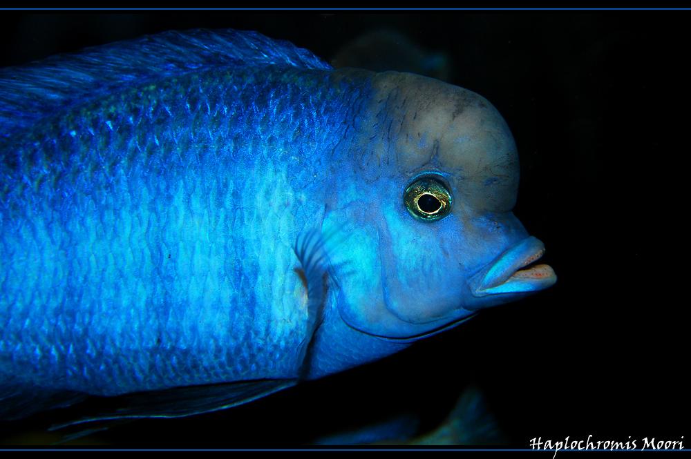 Haplochromis (Cyrtocara)  Moori (Süßwasserdelfin)